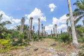 Replanting oil palm — Foto Stock