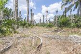 Replanting oil palm — ストック写真