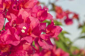 Pink bougainvillea — Stock Photo