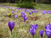 Field with crocuses — Stockfoto