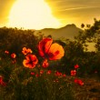 Poppies in the sun — Stock Photo