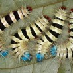 ������, ������: Poisonous caterpillars