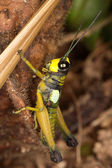 Small tropical locust. — Stock Photo