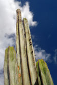 Tall cactus with a sky in the background. Canary Islands. — Stock Photo