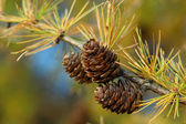 Larch branch with cones in autumn — Stock Photo