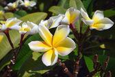 Plumeria flower close-up — Stock Photo