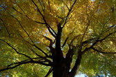 Old beech tree in autumn forest — 图库照片