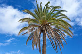 The Canary Island Date Palm Tree (Phoenix canariensis) against t — ストック写真