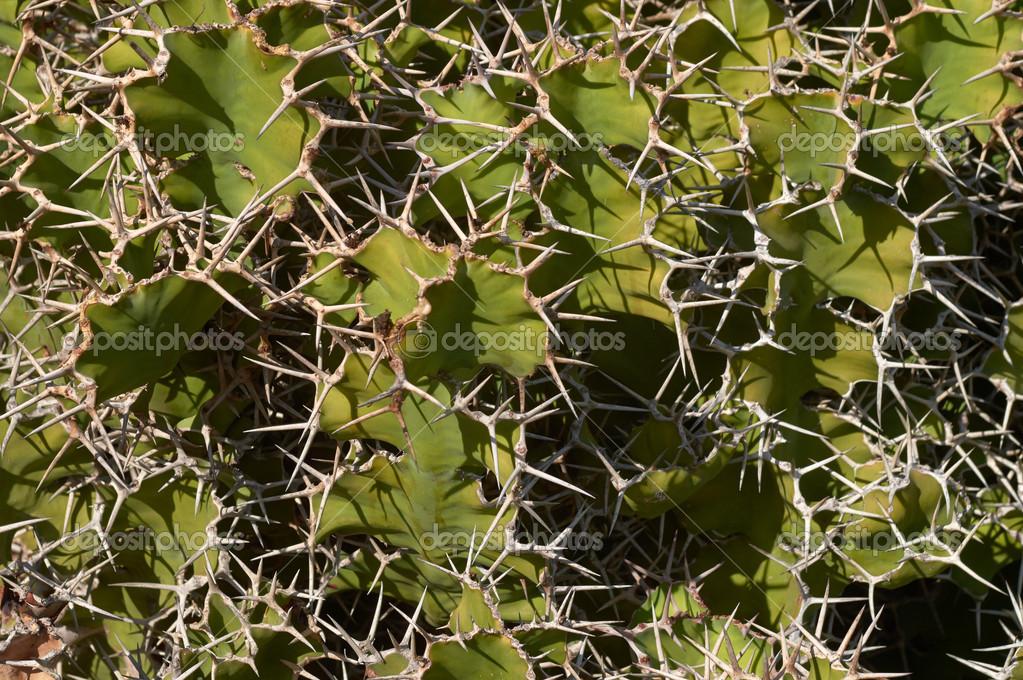 кактус опунция виды с