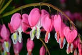 Pink flower. Lamprocapnos spectabilis (formerly Dicentra spectabilis) - Bleeding Heart in spring garden. — Stock Photo