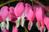 Pink flower. Lamprocapnos Dicentra. Bleeding Heart — Stock Photo