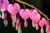 Pink flower. Lamprocapnos Dicentra. Bleeding Heart — Stock Photo