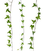 Set of ivy stems isolated. — Stock Photo