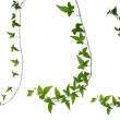 Set of ivy stems isolated over white. — Stock Photo #43193983
