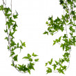 Set of two Ivy stems isolated over white. — Stock Photo