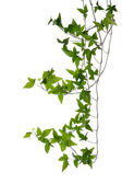 Few Ivy stems isolated over white. — Stock Photo
