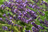 Close-up of blooming lavender flower. — Stock Photo