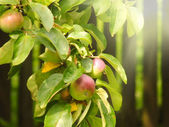 Summer picture of apples on a branch — Stock fotografie