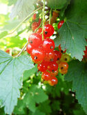 Bright picture of red currant among leaves — Stock Photo