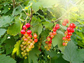 Bright picture of red currant among leaves — Stockfoto