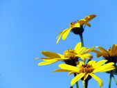 Bright yellow flowers on blue sky — Photo