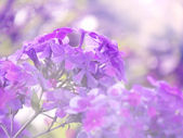 Photos of violet flowers in green grass  — Stock Photo