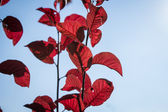 Red leaves against the blue sky3 — Stock Photo
