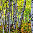 Looking Through the Autumn Aspens — Stock Photo