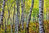 Looking Through the Autumn Aspens — Stock Photo