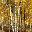 Stock Photo: One Two Three Autumn Aspens