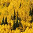 Pines and Autumn Aspens — Stock Photo