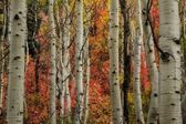 Autumn Behind the Aspens — Stock Photo