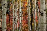 Autumn Behind the Aspens — Stock Photo