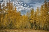 Clima tormentoso y álamos de oro — Foto de Stock