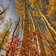 Red Oak at the Base of the Tall Autumn Aspen — Stock Photo