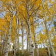 White and Yellow Aspens — Stock Photo