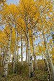 White and Yellow Aspens — Stock Photo
