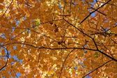 Orange Maple Close Up — Stock Photo