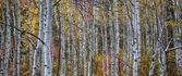 Panorama of Aspens and Colors — Stock Photo