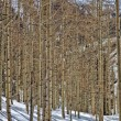 Stock Photo: Winter Aspens