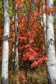 Red Oak Saturation — Stock Photo