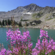 Fire Weed and White Pine Lake — 图库照片