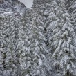 Pines Covered in Snow — Stock Photo