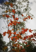 The Red Oak Tree Leafs — Foto de Stock