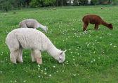 Alpaca — Stok fotoğraf