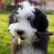 Bearded collie — Stock Photo #13572749