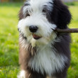 Bearded collie — Stock Photo #13688106