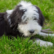 Bearded collie — Stock Photo #13991727