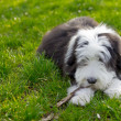Bearded collie — Stock Photo
