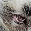 Bearded collie — Stock Photo #21186483
